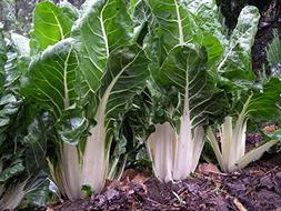 Swiss Chard, Large White Ribbed, Heirloom, Organic 25+Seeds,